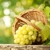 Bunch of graped and vine leaf in basket Royalty Free Stock Photo