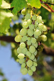 Bunch of grapes. This photograph could be used to represent the naturalness of many types of white wines of course, or be destined for any other use. cerca Royalty Free Stock Image