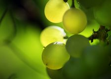 Bunch of grapes. Close-up of a bunch of grapes. Shallow DOF Stock Images