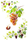 Bunch of grapes. Watercolor isolated on white background with path royalty free illustration