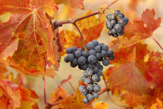 Bunch of grapes. With red leaves Stock Image