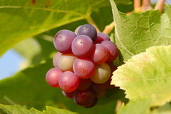 Bunch of Grapes. A Bunch of Grapes in the autumnal Sunlight Stock Photo