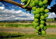 Bunch of grapes. In King Valley wine region, Victoria, Australia Stock Photography