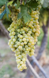 Bunch of Grapes. Hanging on a vine in Spain royalty free stock images