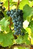 A bunch of grapes Stock Photos