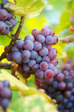 Bunch of grapes. Ready to collect Royalty Free Stock Photography