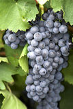 Bunch of grapes 2. Royalty Free Stock Photos