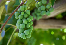 A Bunch of Grapes Royalty Free Stock Photos