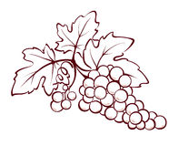 Bunch of grapes. Illustration, decorative design element -- Bunch of grapes stock illustration