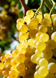 Bunch of grapes. Yellow bunch of grapes grains such as gold Stock Photos