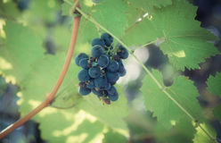 A bunch of grapes Royalty Free Stock Images
