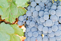 Bunch of Grapes. Bunch of black Mencia grape variety, endemic in the northwestern of Spain. With some vine leaves Royalty Free Stock Image
