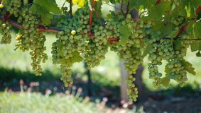 Bunch of grapes. Green grapes hanging in bunches off of a vine Royalty Free Stock Photo