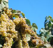 Bunch of grapes. Green grapes hanging in bunches off of a vine Royalty Free Stock Images