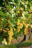 Bunch of grapes. Bunches of matured white grapes on Moravian vineyard Royalty Free Stock Images