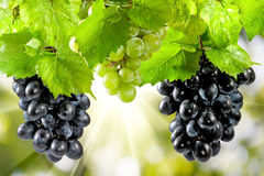 A bunch of grapes against the sun Royalty Free Stock Photo