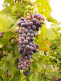 Bunch of grapes. At autumn season before the harvest stock photography
