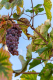 Bunch of grapes. On a background of autumn foliage yellowed Stock Photography