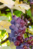 Bunch of grapes. On a background of autumn foliage yellowed stock image