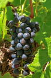 Bunch of grapes - Barossa Valley Stock Image