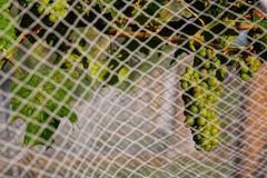 Grapes behind bird proof nets in New Zealand royalty free stock photo