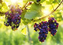Bunch of grapes. Bunch of black grapes on the vine royalty free stock images