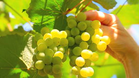 Bunch of grapes with a blue sky in the background. stock footage
