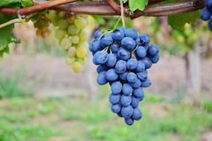 Bunch of grapes. Bunch of blue grapes in vineyard Royalty Free Stock Images