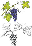 Bunch of grapes on branch vector illustration