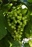 Bunch of grapes on a branch royalty free stock photo