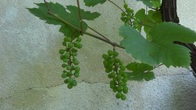 Bunch of grapes in the breeze stock video footage