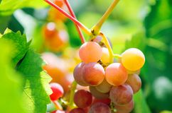 A bunch of grapes in bright sunlight. royalty free stock images