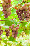 Bunch of grapes on a brunch. Bunch of grapes ripen on a branch in the garden royalty free stock image