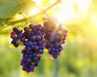 Bunch of grapes. Bunch of black grapes on the vine stock image