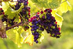 Bunch of grapes. Bunch of black grapes on the vine royalty free stock photography