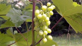 Bunch of grapes on a bush. Beautiful bunch of green grapes hanging on a bush in a summer sunny day stock footage