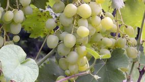 Bunch of grapes on a bush. Beautiful bunch of green grapes hanging on a bush in a summer sunny day stock video footage