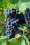 Bunch of grapes Royalty Free Stock Images