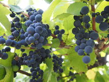 Bunch of grapes. The dark blue bunch of grapes Stock Photography