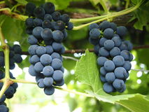 Bunch of grapes. The dark blue bunch of grapes Stock Photo
