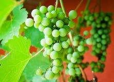 Bunch of grapes Stock Photos