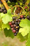 Bunch of grapes Royalty Free Stock Photography