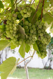 Bunch of  grapes with foliage of vine. Stock Photo