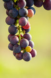 Bunch of grapes. A Bunch of grapes, from a french winery Royalty Free Stock Photos