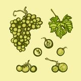 Bunch of grapes. Fruit isolated on a light background. Hand drawn Royalty Free Stock Photo