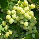 Bunch of  grapes in the garden Royalty Free Stock Images