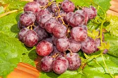 Bunch of grapes. Grapes are a genus of plants in the family Vitaceae Royalty Free Stock Photo