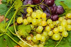 Bunch of grapes,. Grapes are a genus of plants in the family Vitaceae Royalty Free Stock Image