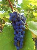 Bunch of grape. Stock Image