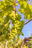 Bunch of grapes on with green leaves Royalty Free Stock Photo
